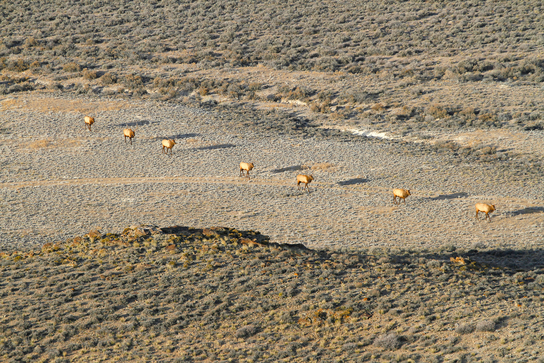 Elk in Nevada on the Winecup Gamble Ranch